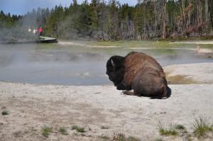 Bison bij modderpoel Mud Volcano