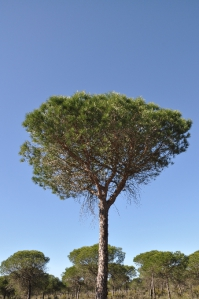 Dennenbomen in Andalusië