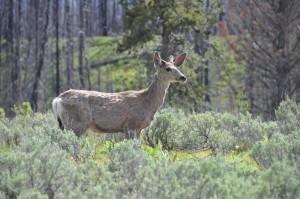 Jonge Elk bij Spalding Bay