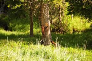 Kleine zwarte beren in Yellowstone