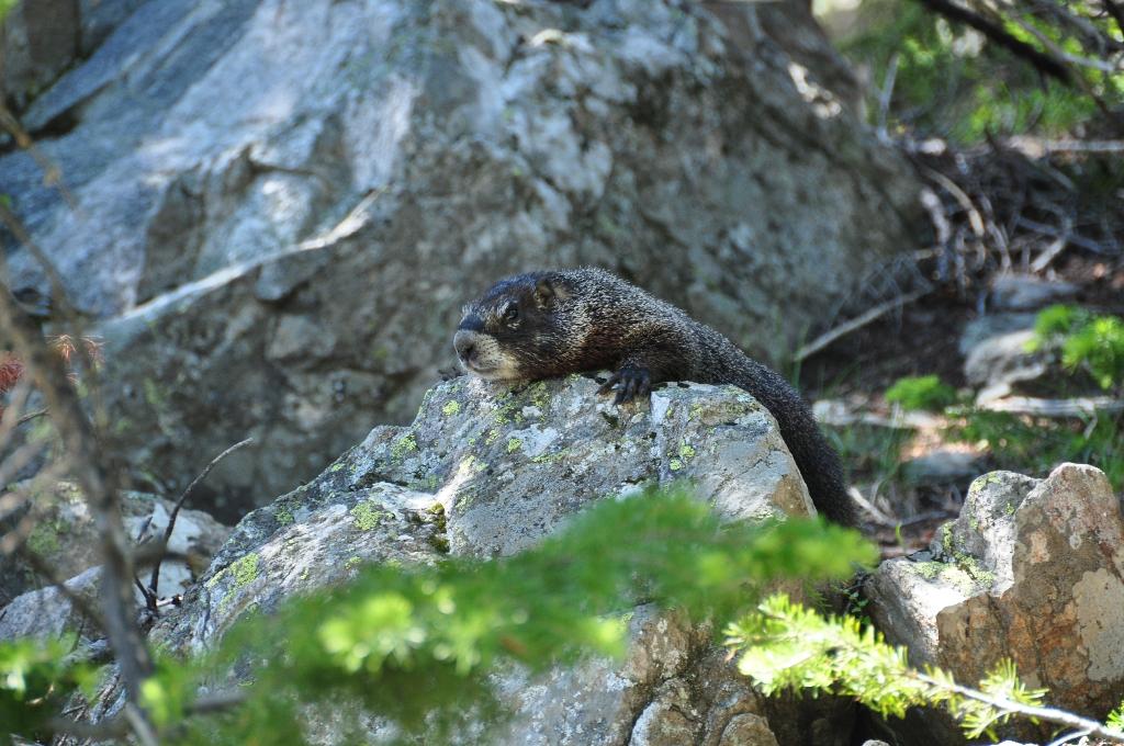 Marmot bij Jenny Lake